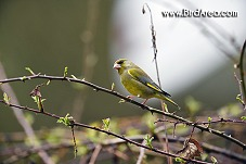 European Greenfinch, Carduelis chloris
